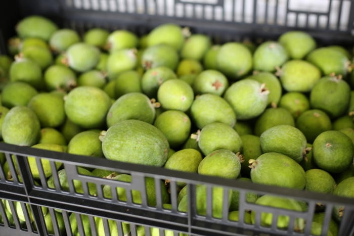 A crate of freshly picked feijoas at Hinterland Feijoas.