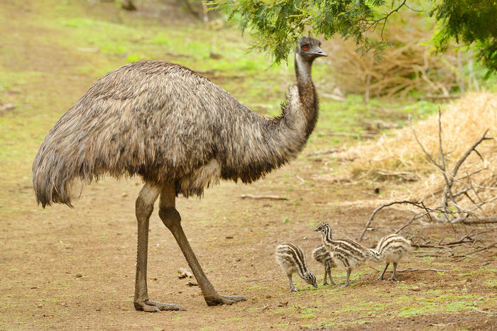 The emu diet actually helps native ingredients flourish.