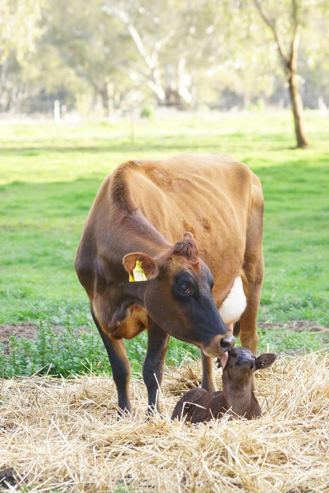 How Now dairy is pioneering 'kind milk' on its Victorian