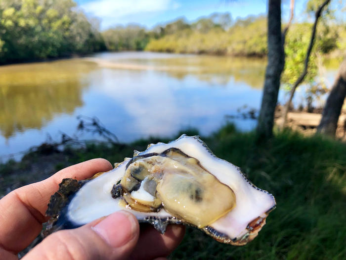 Wild-harvested oysters are a good source of iron.