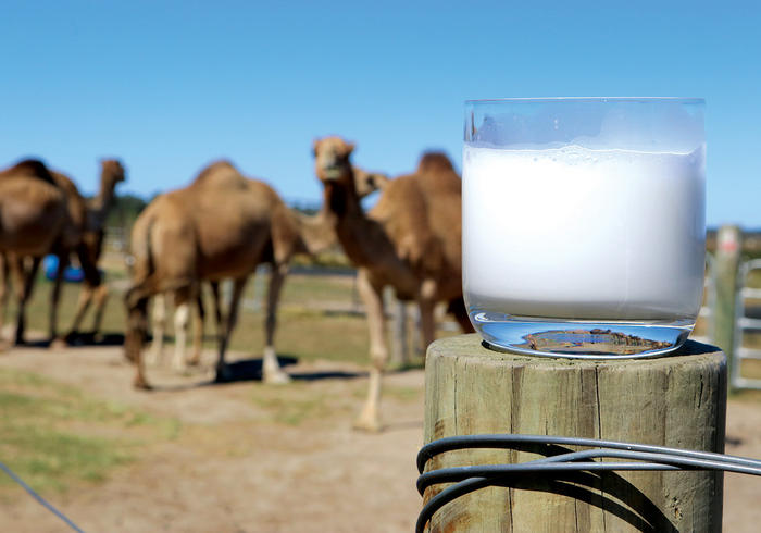 """""""One of the biggest hurdles with camel milk is getting over the mental 'hump' [we see what you did there] of it coming from an animal other than a cow."""""""