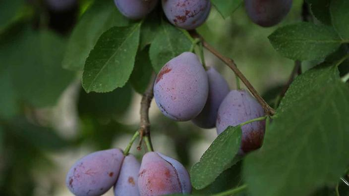 Prune plums on tree in Griffith orchard