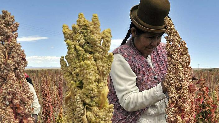 A Bolivian Aymara native inspects a Quinoa plant  in the Bolivian Andes,