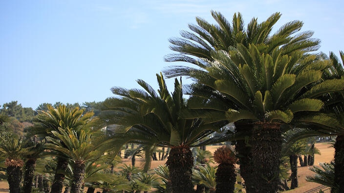 Sago comes from the trunks of sago palm trees.