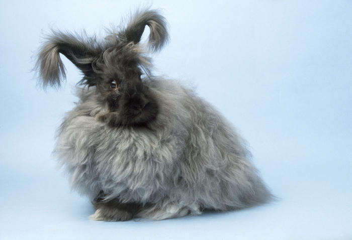 RABBIT - ANGORA (AAP/Mary Evans/Ardea/John Daniels) | NO ARCHIVING, EDITORIAL USE ONLY