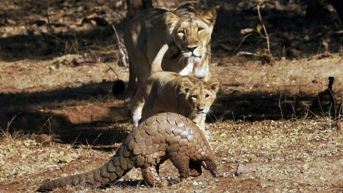 pangolins vs lions