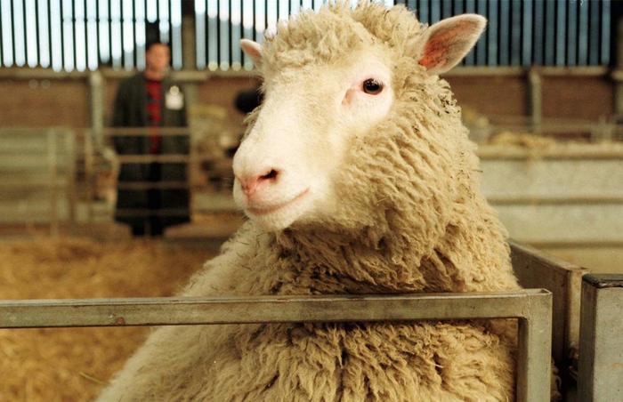 dolly clone sheep