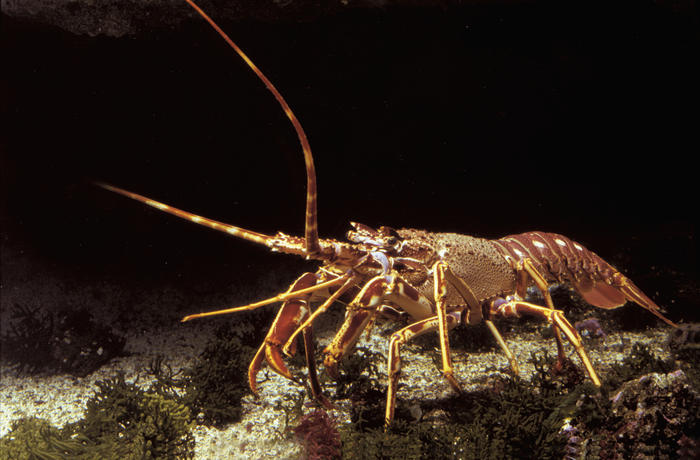 Lobster  (AAP/Mary Evans/Ardea/Jean-Michel Labat) | NO ARCHIVING, EDITORIAL USE ONLY