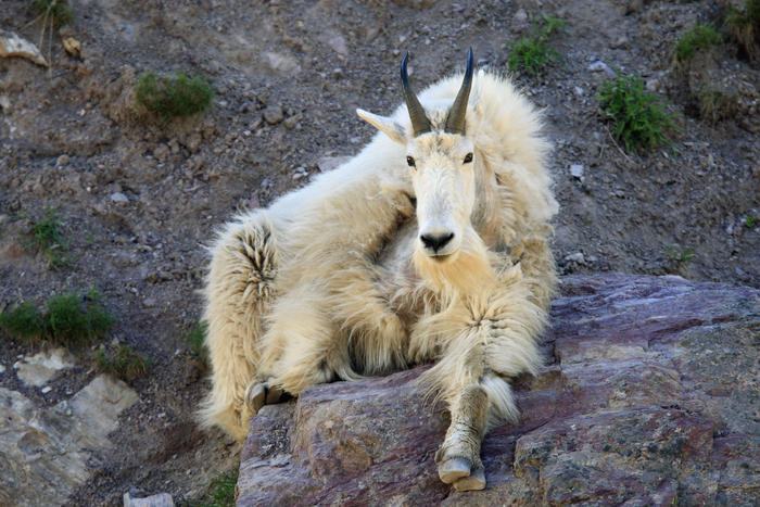 Mountain Goat (Oreamnos americanus) (AAP/Mary Evans/Ardea/M. Watson) | NO ARCHIVING, EDITORIAL USE ONLY