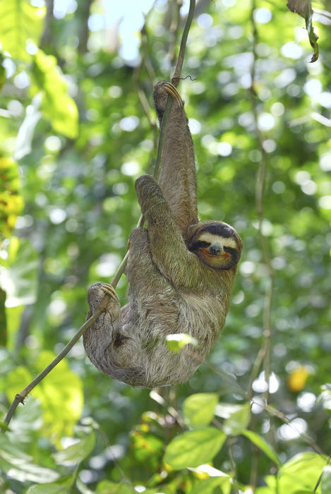 Brown-throated Three-toed Sloth (Bradypus variegatus) (AAP/Mary Evans/Ardea/Thomas Marent) | NO ARCHIVING, EDITORIAL USE ONLY