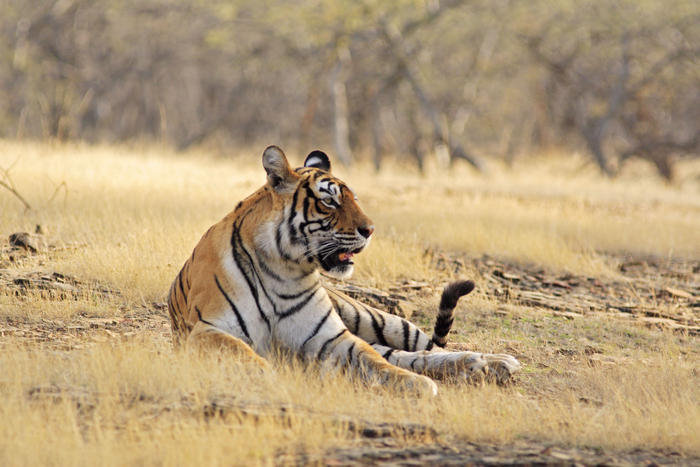 Bengal / Indian Tiger - in dry grassland. (Panthera tigris) (AAP/Mary Evans/Ardea/Jagdeep Rajput) | NO ARCHIVING, EDITORIAL USE ONLY