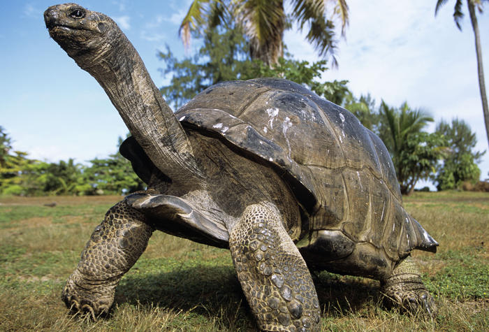 Aldabra Giant TORTOISE (Dipsochelys elephantine) (AAP/Mary Evans/Ardea/M. Watson) | NO ARCHIVING, EDITORIAL USE ONLY