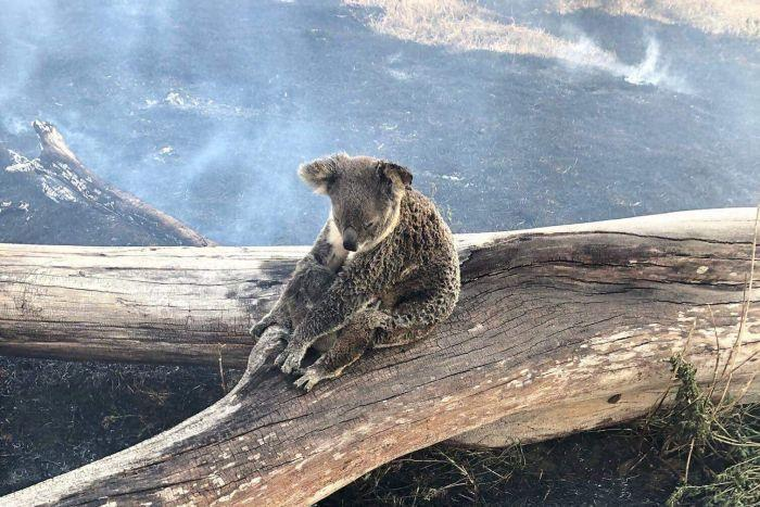 Jimboomba Police rescued the koala and her joey from fire in the Gold Coast hinterland.