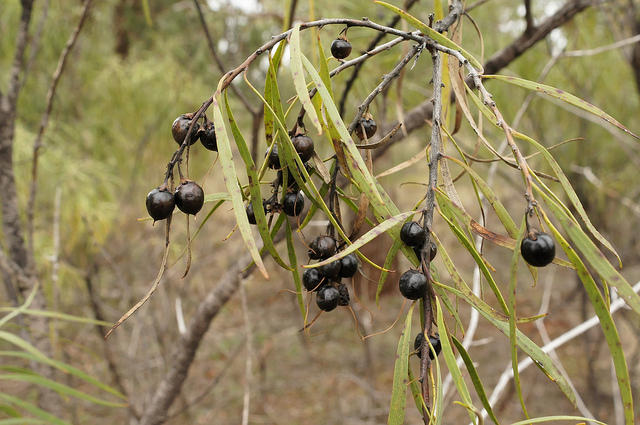 10 bush medicines that have been curing people for generations | NITV