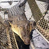 3.9m crocodile trapped by departmental wildlife officersin the Johnstone River (QLD), after a teenager was mauled by the reptile in March 2017.