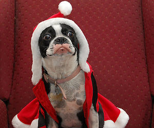 Puppy dog in a santa outfit
