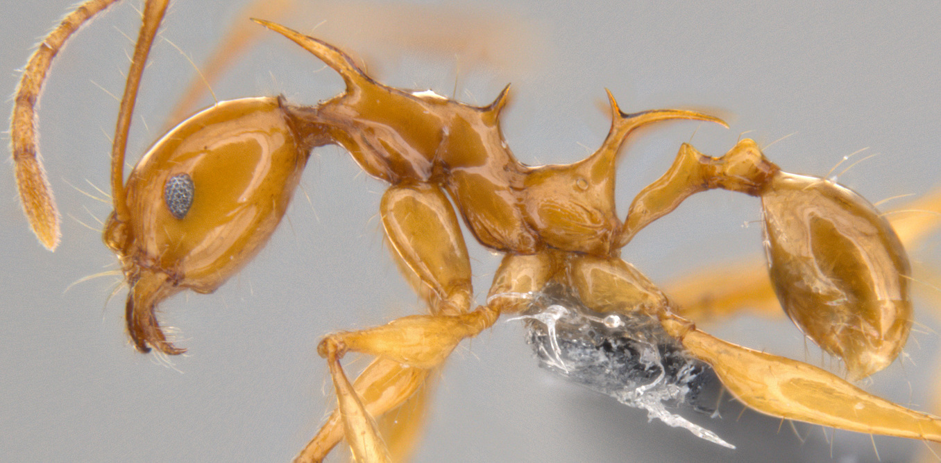 Meet Viserion and Drogon: the new ant species named after