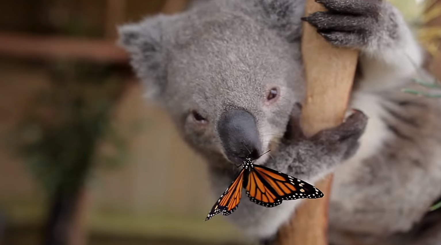 This Koala Joey Playing With A Butterfly Is The Cutest