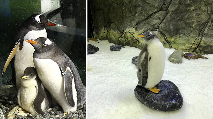 Sydney's gay penguins have raised a healthy baby girl