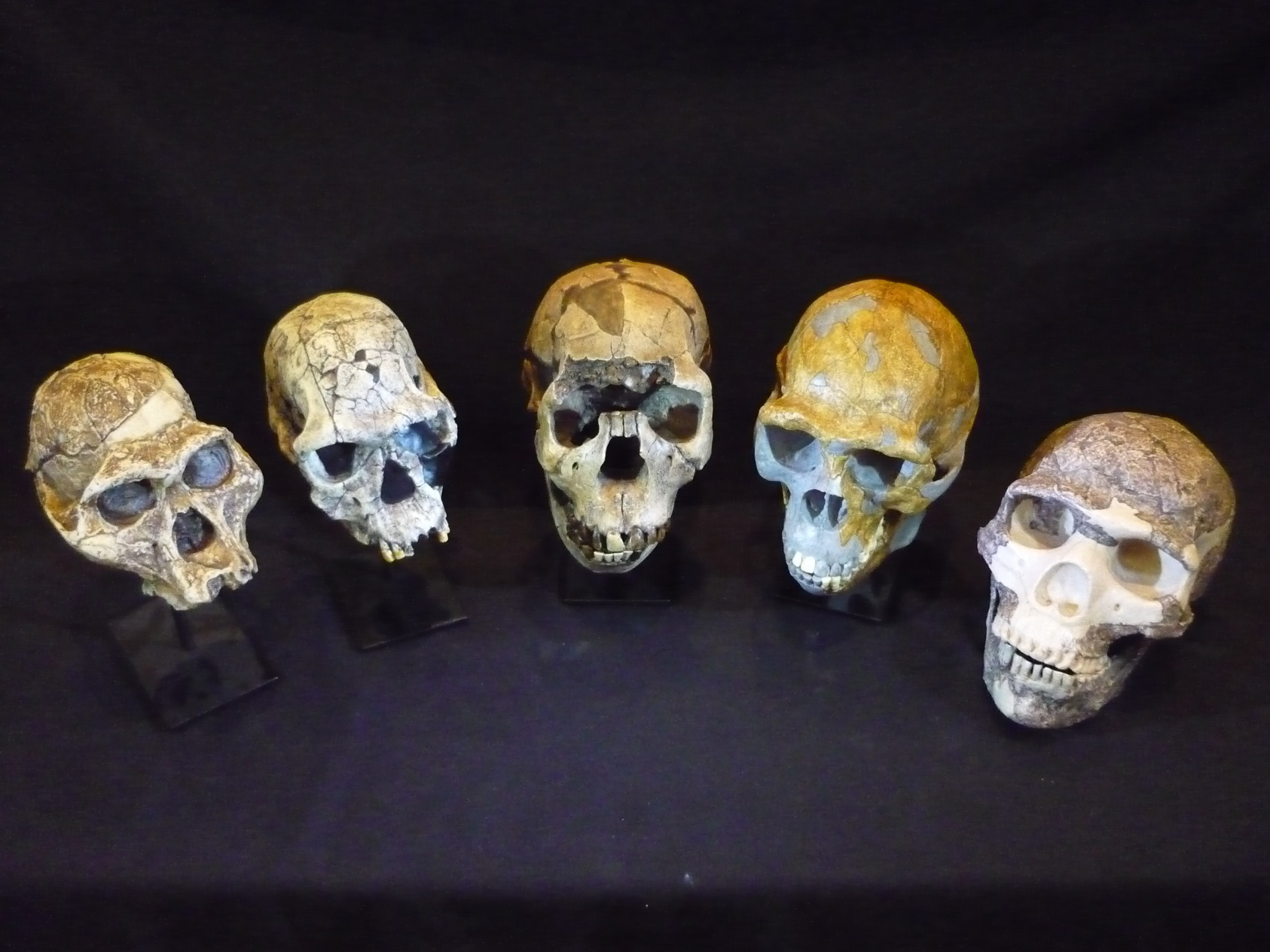 Could blood flow to brain have driven evolution of human ... Homo Sapiens Neanderthalensis Skull