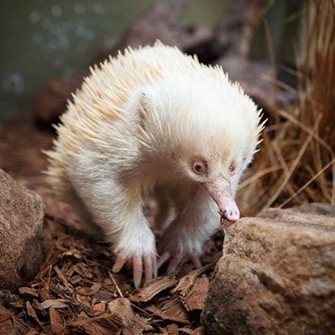 leo albino echidna