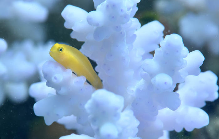 An Okinawa goby on a coral colony