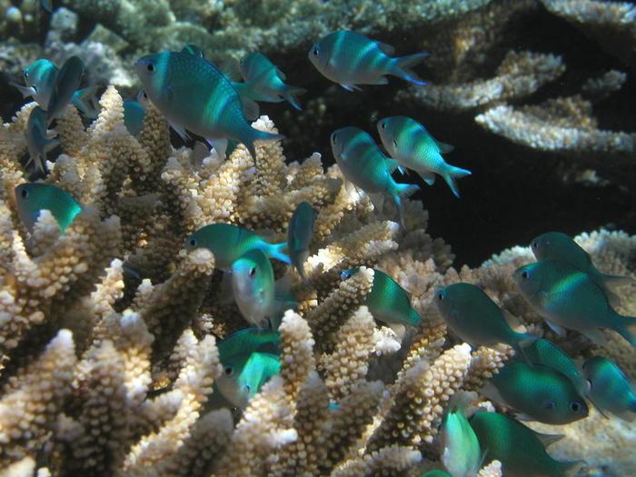 chromis damselfish on a healthy reef