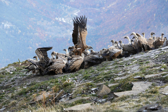 Eurasian Griffon Vulture - group at feeding station.  (Gyps fulvus) (AAP/Mary Evans/Ardea/M. Watson) | NO ARCHIVING, EDITORIAL USE ONLY