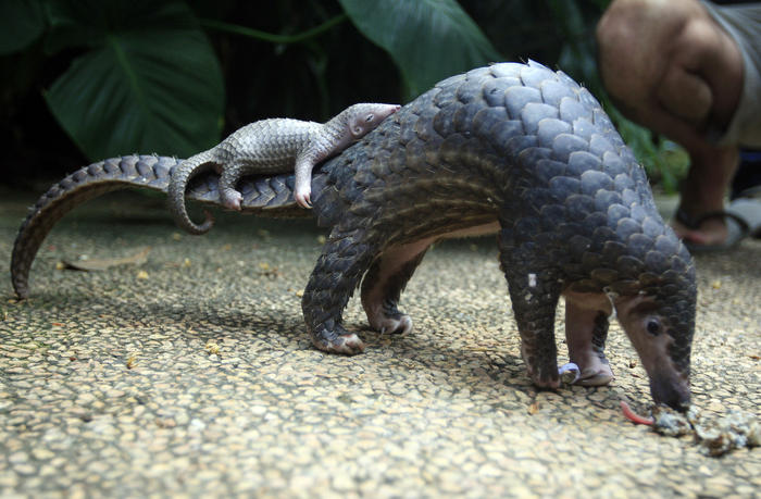 A pangolin carries its baby at a Bali zoo, Indonesia, Thursday, June 19, 2014. The pangolin baby was born on May 31. (AP Photo/Firdia Lisnawati)