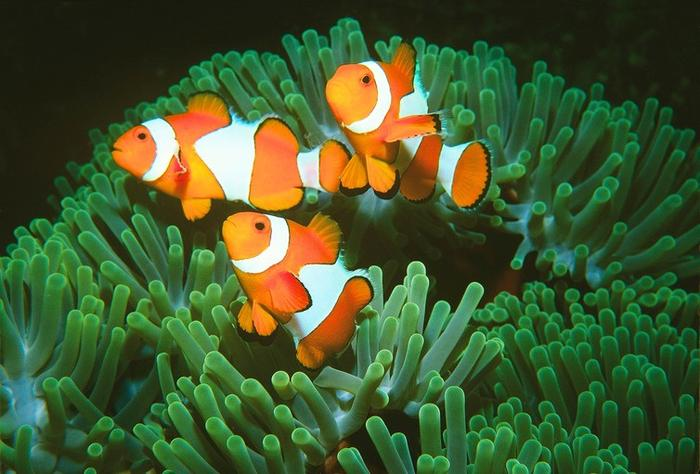 fish on a healthy anemone