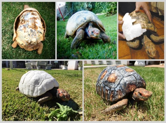 tortoise with 3d printed shell