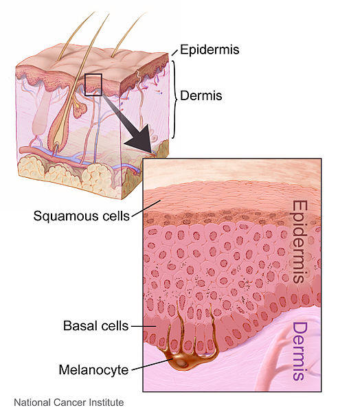 Layers of the skin