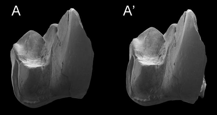 lower molar of w tomnpatrichorum