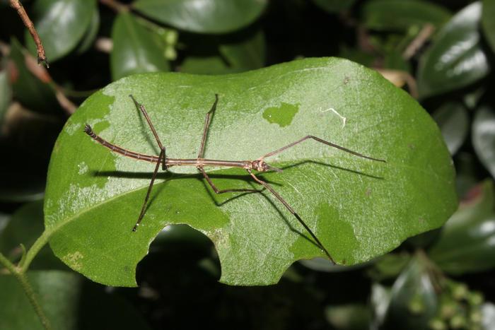 gargantuan stick insect on a leaf
