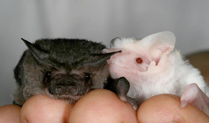 albino bat at tolga bat hospital