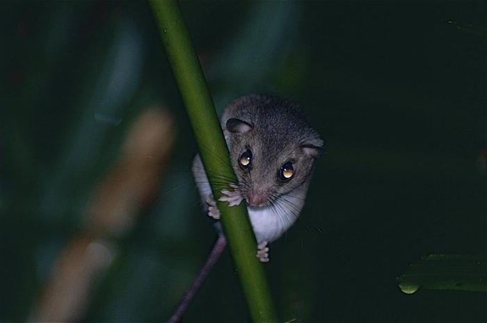 mosaic-tailed rat