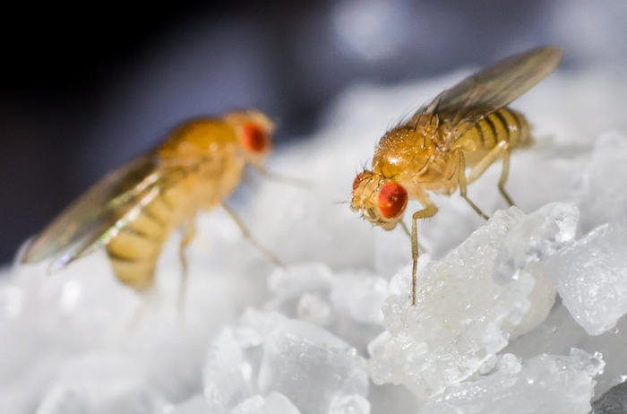 drosophila flies