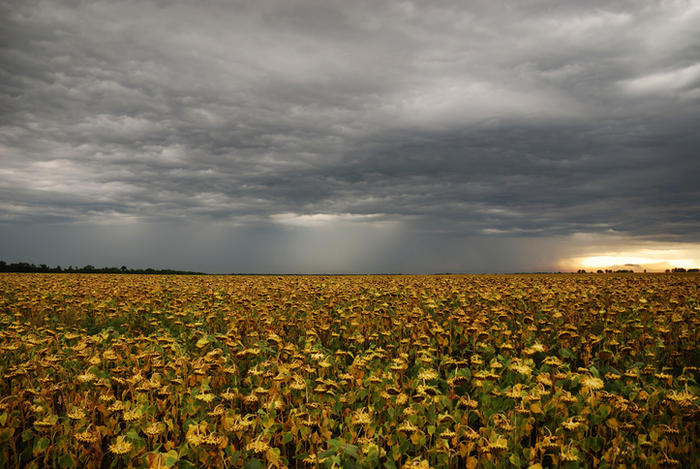 The thunderstorm above sunflower field
