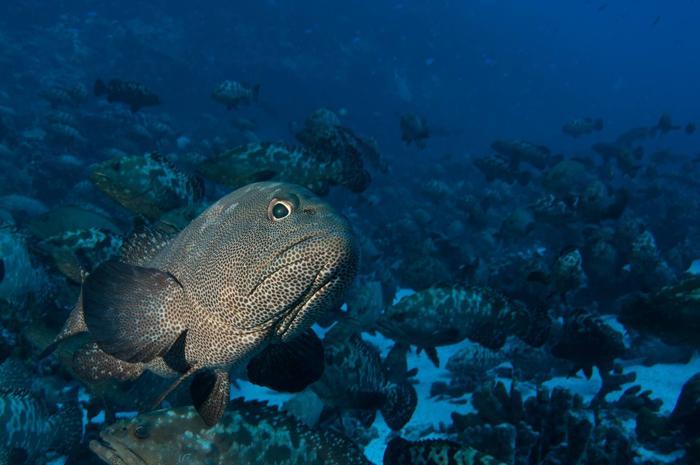 grouper fish spawning aggregation