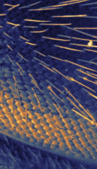 honey bee's eye imaged by the scanning helium microscope