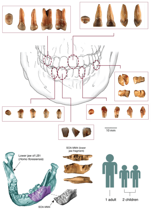 Hominin fossils discovered at Mata Menge, comprising six teeth and a fragment from a lower jaw.