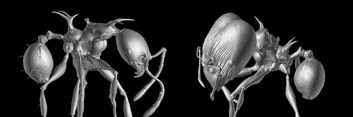 Enlarged image of the new ants