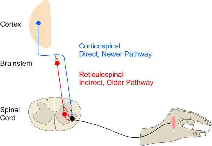 neural pathways from cortex to hand