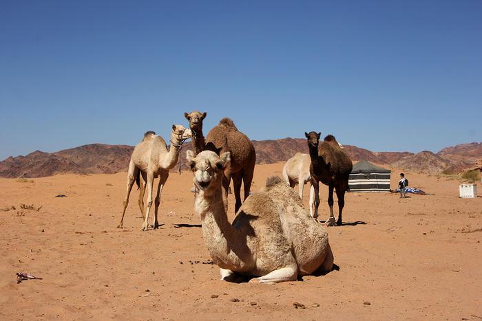 Meet the Jordanian camel racers using robot jockets