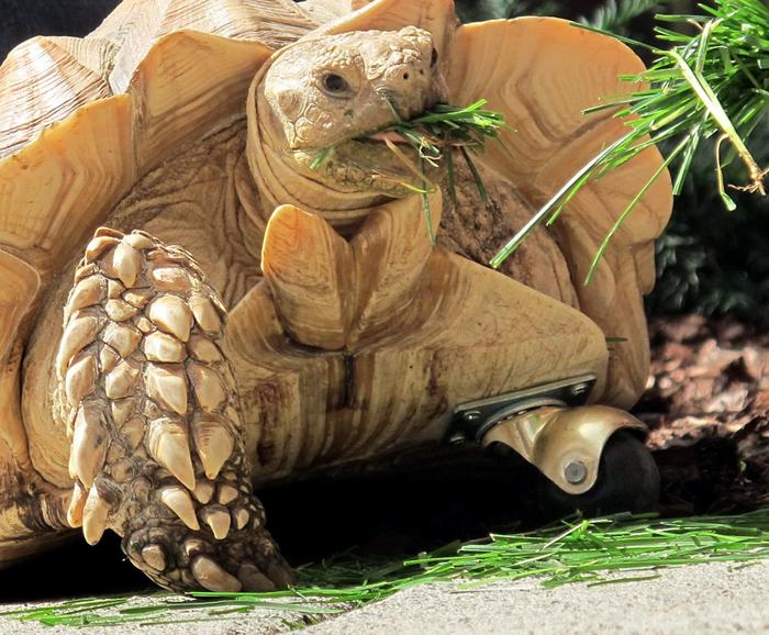 african tortoise on wheel