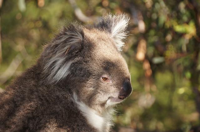 Koala in light