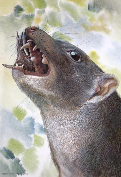 Malleodectes snail-eating marsupial
