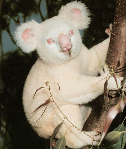 onya-birri koala