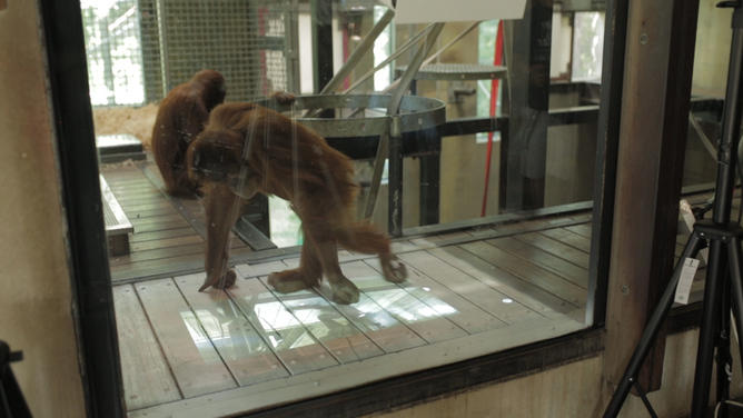 orangutan investigates virtual photo gallery