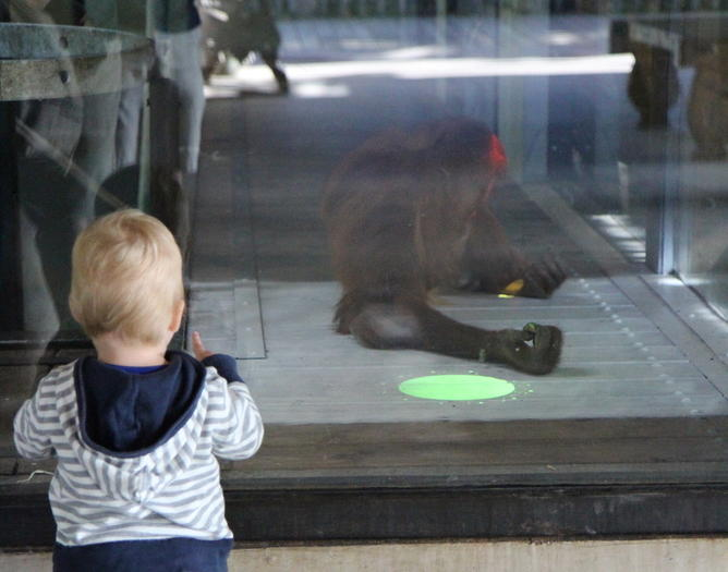 orangutan learning how to use the virtual touchscreen